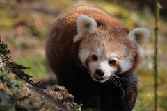 Red Panda (JPW_Photography) Tags: panda red rzss highlandwildlifepark
