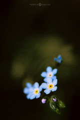 Remember (**Purple Cactus** Back after 4 years...) Tags: forgetmenot flower nature macro dark outside art bokeh spring