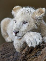 Bored cub on the log (Tambako the Jaguar) Tags: lion big wild cat white cub baby young cute portrait face posing resting lying tired bored semiprofile log banch wood tree lionsafaripark johannesburg southafrica nikon d850