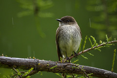 Eastern Phoebe (jt893x) Tags: 150600mm bird d500 easternphoebe flycatcher jt893x nikon nikond500 phoebe sayornisphoebe sigma sigma150600mmf563dgoshsms songbird thesunshinegroup coth alittlebeauty coth5 sunrays5