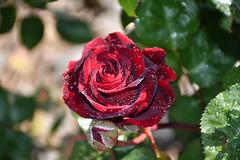 DSC_6897 (griecocathy) Tags: macro fleur rose feuille boutons gouttelette eau éclat rouge vert beige