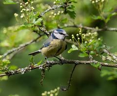 Blue Tit.182c_81 (Baffledmostly) Tags: birds bluetit