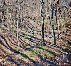 Shadows on the Ridge (Fiddling Bob) Tags: 120formatfilm ricohflex twinlensreflex mediumformat trees shadows woods creek