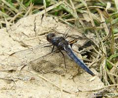 Male Blue Corporal_N8702 (Henryr10) Tags: miamimeadowspark milfordoh miamimeadows ohio usa clermontcountyoh stateendangeredinohio ladonadeplanata ladona deplanata bluecorporal corporal libélula dragonfly dragonflies libellula libellule libelle drekafluga odonata