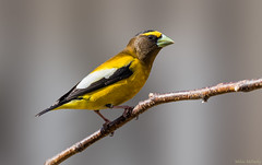 Evening Grosbeak (M) (Melissa M McCarthy) Tags: eveninggrosbeak grosbeak bird songbird animal nature outdoor wildlife wild male colorful yellow orange bright spring finch mountpearl newfoundland canada canon7dmarkii canon100400isii