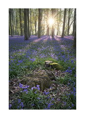 Hampshire Bluebells (Geoff Kell (Old Forest Man)) Tags: woodland spring bluebells flowers sunrise hampshire