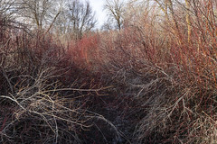 SE Idaho National Forest In the early spring. (spotwolf5) Tags: riparian willows dogwood brush easternidaho springtime
