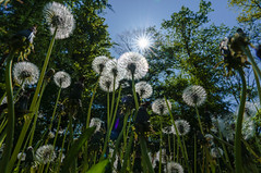 Alles Pusteblume (KaAuenwasser) Tags: pusteblume löwenzahn samen verblüht wiese natur wald baum bäume sonne sonnenstern stern strahlen himmel blau mai 2019
