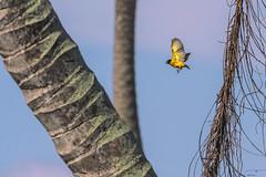 IN VOLO.  ---   IN FLIGHT (Ezio Donati is ) Tags: uccelli birds animali animals alberi trees foresta forest colori colors cielo sky westafrica costadavorio sanpedroarea