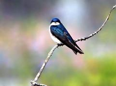 Hirondelle bicolore (Marie-Helene Levesque) Tags: oiseau harrisburg pennsylvanie hirondelle hirondellebicolore mariehélène mariehelene