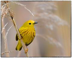 Yellow Warbler (RKop) Tags: raphaelkopanphotography d500 cincinnati ohio ottawanwr warbler 600mmf4evr 14xtciii warblers nikon