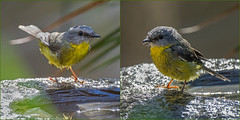 Eastern Yellow Robin (OzzRod (on the wallaby)) Tags: pentax k3 hdpentaxdfa150450mmf4556 birds easternyellowrobin diptych barraggabay nswfarsouthcoast australia