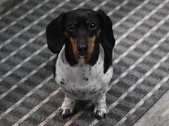 My Sweet Pea - in Ramona, California on May 1, 2019 (Ramona Pioneer Girl) Tags: podling pod sweetpea blackandtan piebald miniaturedachshund dachshund canine hound dog