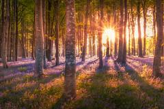 Woodland Sunrise (Rich Walker Photography) Tags: woodland sunrise trees tree sun morning sunstar shadows bluebells bluebell flowers spring grass landscape landscapes landscapephotography canon england efs1585mmisusm eos eos80d devon
