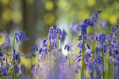 Bluebell dreams....(in explore) (He Ro.) Tags: 2019 belgien bluebells frühling grün hallerbos hasenglöckchen wald blue flowers spring woodland woods coth alittlebeauty hyacinthoides wildhyacinths hyazinthen wildehyazinthen nature natur blau flowering hal halle