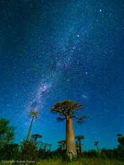 La Via Lactia sobre el passeig dels Baobabs. (vfr800roja) Tags: morondava baobabs madagascar vialactia milkyway regióndemenabe