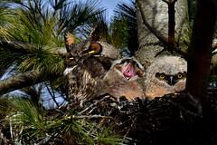 GHOMomAndOwlets2 (Rich Mayer Photography) Tags: great horned horn owl owls owlet owlets nature bird birds avian wild life wildlife animal animals fly flying flight nikon
