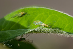 Greenfly | Bladluis (Leo Kramp) Tags: tuin insecten leokrampfotografie achtertuin waddinxveen wwwleokrampfotografienl photography dieren bladluis natuurfotografie nederland 2019 jancampertlaan animals backyard greenfly insects naturephotography netherlands zuidholland