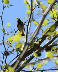 Male American Redstart_3924_00001-001 (Henryr10) Tags: shawneestateforest adamscountyoh adamscounty ohio usa shawneestatepark sciotocounty americanredstart redstart avian bird vogel ibon oiseau pasare fågel uccello tékklistar setophagaruticilla warbler songbird amre