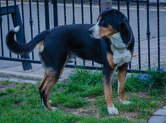 Greater Swiss Mountain Dog Harry (frankmh) Tags: animal dog greaterswissmountaindog harry hittarp skåne sweden
