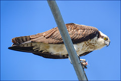 Osprey (with prey) (Timothy Valentine) Tags: 0419 large bird sky 2019 capecod southyarmouth massachusetts unitedstatesofamerica