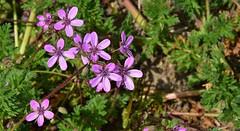 Gewone reigersbek - Erodium cicutarium (henkmulder887) Tags: gewonereigersbek erodiumcicutarium drenthe zandgrond drouwen bermplant