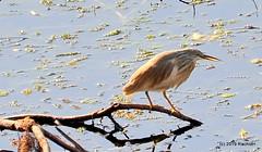 DSC_0291 (RachidH) Tags: birds oiseaux heron crabier squaccoheron ardeolaralloides crabierchevelu nile river aswan egypt rachidh nature