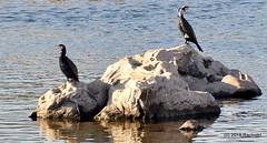 DSC_0556 (RachidH) Tags: birds oiseaux cormorant cormoran greatcormorant phalacrocoraxcarbo grandcormoran aswan nile river assouan rachidh nature