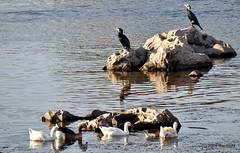 DSC_0561 (RachidH) Tags: birds oiseaux cormorant cormoran greatcormorant phalacrocoraxcarbo grandcormoran aswan nile river assouan rachidh nature