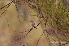 A bird in the bush (Dan Wiklund) Tags: cocoparra nationalpark bird animal bush australia nsw newsouthwales nature forest australian 2018 d800