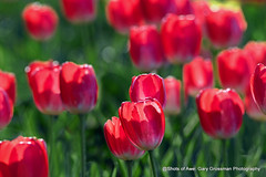 Tulips Through The Big Lens (Gary Grossman) Tags: tulips backlit spring april oregon northwest flowers garygrossman garygrossmanphotography floral willamettevalley pacificnorthwest woodenshoetulipfarm