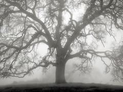 Hunting Hollow Fog Series 3 (StefanB) Tags: 1235mm 2019 californa em5 fog henrycoe hiking mood tree treescape huntinghollow statepark outdoor