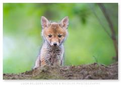 Foxy lady! (Luuk Belgers) Tags: fox foxcub cute cuddly wildlife naturephotography animal bokey spring