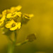 Golden Alyssum