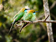 Green Bee Eaters (Explore 03.05.19 #372) (davYd&s4rah) Tags: bird beeeater srilanka asia green nationalpark tree forest bokeh focus olympus yala np nature wildlife