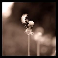 ......aprile...anzi maggio! (Claudio Taras) Tags: nikon 35mm18 bw bokeh biancoenero bokehlicious flower fiori claudio contrasto controluce digital soffione sepia toned