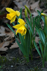 DSC01470B (The Real Maverick) Tags: highpark toronto ontario canada outdoor spring daffodils