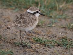 Kittlitz's Plover Charadrius pecuarius (nik.borrow) Tags: bird plover wader shorebird ndutu