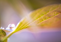 After The Storm (The Barrel Steward) Tags: rain drop leaves spring wet micro macro lensflare sunlight translucent colors pastel water reflection refraction extensiontubes waterdrop bokeh blurry dof nikon d810 200mmf4