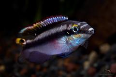 Pelvicachromis pulcher (male) (Santi YJ photo) Tags: santiyj fujifilm xt1 xf1855 pelvicachromispulcher kribensis acuario aquarium peces fish