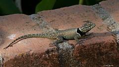 lézard non identifié /  Unidentified lizard (Laval Roy) Tags: reptiles mexique mexico jalisco eltuito ranchoprimavera lavalroy canon lézard lizard