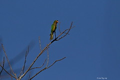 1.11158  Conure à front rouge / Aratinga canicularis clarae / Orange-fronted Parakeet (Laval Roy off until 07/08/2019) Tags: mexico jalisco mexique aves birds oiseaux canon conureàfrontrouge aratingacanicularisclarae orangefrontedparakeet psittacidés psittaciformes lavalroy