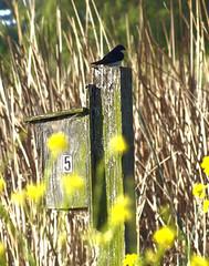 Tree Swallow on post (Scott Severn) Tags: lake elizabeth tree swallow