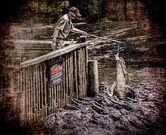 Gator Bait (Wes Iversen) Tags: fencefriday florida hff nikkor18300mm staugustine staugustinealligatorfarm alligators feeding fences gators men rats reptiles signs texture twine