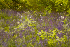 Oak in Bluebells (Sue_Hutton) Tags: burleighwood loughborough may2019 spring afterrain ancientwoodland bluebells evening icm