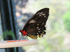 Ornithoptera euphorion 3 (mncsite) Tags: barry m ralley barrymralley the butterfly house coffs harbour nsw ornithoptera euphorion cairns birdwing