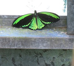 Ornithoptera euphorion 1 (mncsite) Tags: barry m ralley barrymralley the butterfly house coffs harbour nsw ornithoptera euphorion cairns birdwing