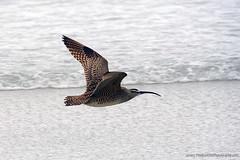 Whimbrel_03 (DonBantumPhotography.com) Tags: wildlife nature birds animals whimbrel seabirds ocean surf donbantumcom donbantumphotographycom shorebirds