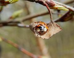 Harlequin ladybird (rockwolf) Tags: harlequin ladybird beetle coleoptera coccinellidae coccinelle coccinelleasiatique insect harmoniaaxyridis brownmoss shropshire rockwolf