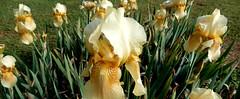 cream and gold iris bed, ours (Martin LaBar) Tags: southcarolina pickenscounty iris iridaceae irisdomestica lirio flowers flower spring frühling lovely